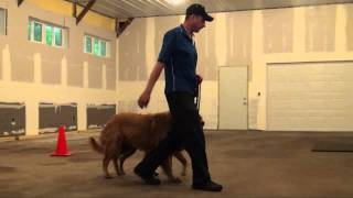 Dexter (golden Retriever) Boot Camp Dog Training Video