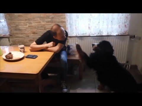 Bernese Mountain Dog So Funny // Berner Sennenhund So Lustig