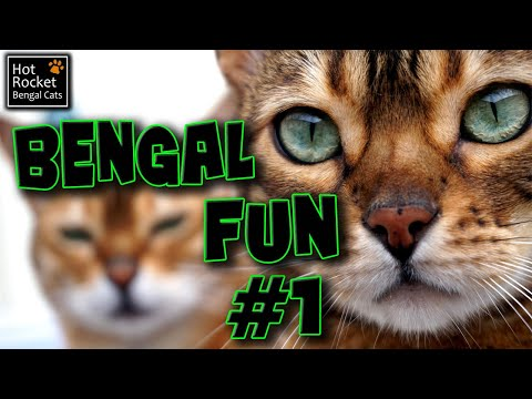 Bengal cat fun – talking, playing, ham, flies & birds! (pt 1/6)