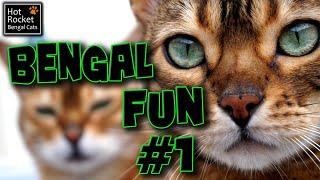 Bengal cat fun – talking, playing, ham, flies & birds! (pt 1/6)