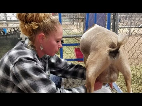 one-day-milk-test;-getting-our-nigerian-dwarf-goats-tested-to-earn-their-milk-star