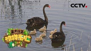 [正大综艺·动物来啦]选择题:黑天鹅宝宝是由谁孵化出生的?| CCTV