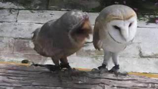 フクロウショー会場の傍らで茶色と白の種類の違うメンフクロウが仲良く...