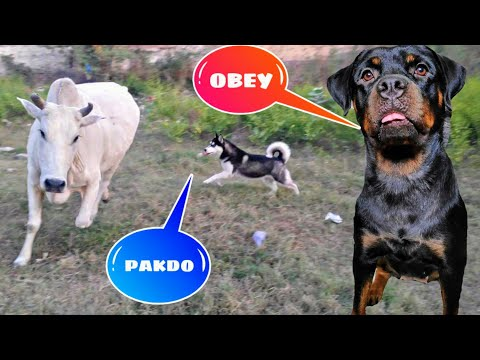 Roxy Cheeni Behind the scenes Op Moments || Dog Can talk part 67 || Review reloaded.Husky Rottweiler