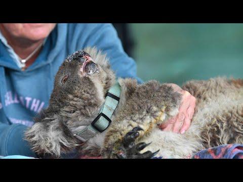 Pflegestationen In Australien: Koalas Kämpfen Nach Bränden Ums Überleben