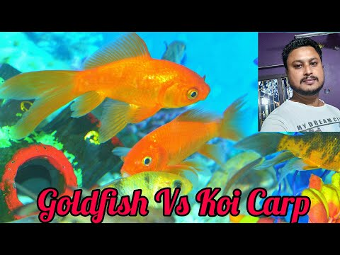 Difference Between Goldfish And Koi-carp Fishes.