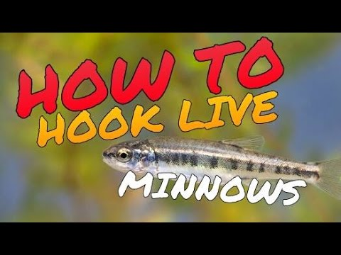 live minnow hooks