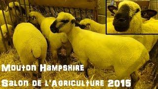 Mouton Hampshire - Ovis aries - Linnaeus, 1758 - Salon de l'Agriculture 2015 - 02/2015