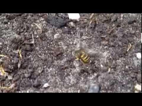 2013080204 Wesp onthoofdt daas in hevig gevecht