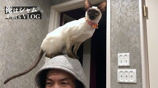 Siamese cat on the head Funny Cats video