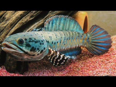 Unboxing Channa Orcha Si Ikan Biru Yang Tak Kalah Dgn Ikan Lain Youtube