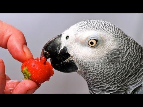 Which Birds Talk the Best?   Pet Bird