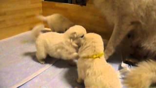 ホワイトスイスシェパードの仔犬生後24日目 父:ホワイトスイスシェパ...
