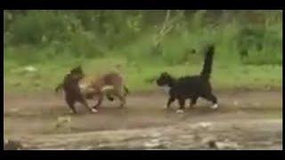 Домашние коты атакуют и отгоняют дикую лисицу. Эстония. 25.05.2019