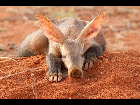 Aardvark - South Africa Amazing Animal