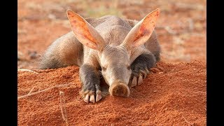 Aardvark - South Africa Amazing Animal YouTube Videos