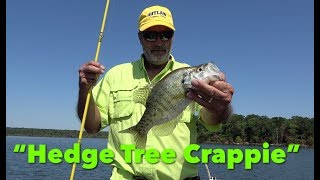 Pulling Crappie From Deep Water Hedge Trees