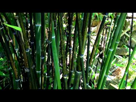 Growing Bamboo From Seed Episode 1 Doovi