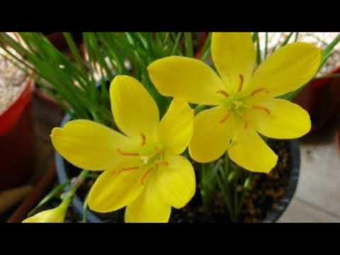 Цветок зефира - Зефирантес. Выскочка на подоконнике...