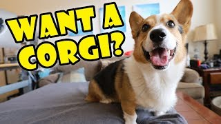 Want a Corgi Puppy? Things to Know! || Extra After College
