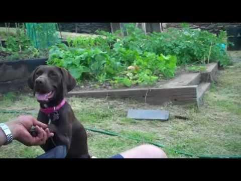 Crazy Kangaroo dog! German shorthair pointer x jumping