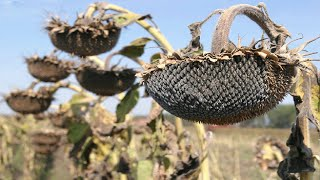 Sunflower Harvesting Machine - How to harvest and processing sunflower seeds