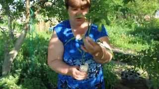 видео Пасынкование томатов