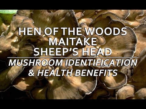 Hen Of The Woods (Maitake, Sheep's Head) Mushroom Identification & Health Benefits with Adam Haritan