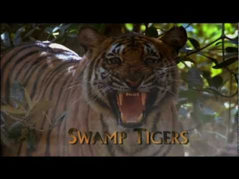 Swamp Tigers From Sundarbans Part 16 YouTube