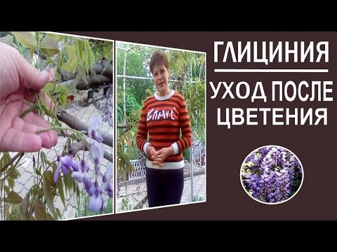 Декоративные растения.Цветущие лианы Глициния Уход после цветения