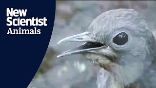 Lyrebird mimics construction sounds