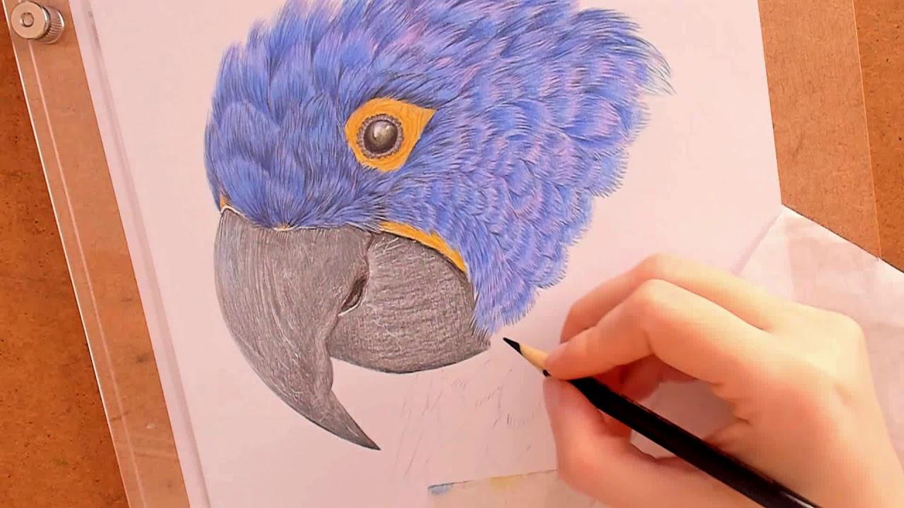 Desenhando Uma Arara Azul Youtube