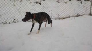 whippet and border collie running on the snow