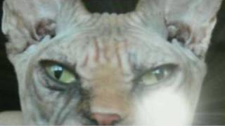 The Sphynx Cat Thumbnail