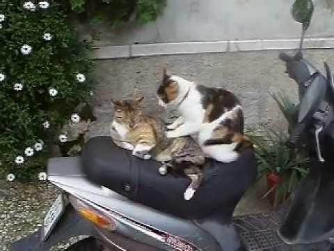 Traditional Cat Massage from Korčula, Croatia
