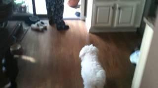 Maltipoo Dogs, Davinci And Panini