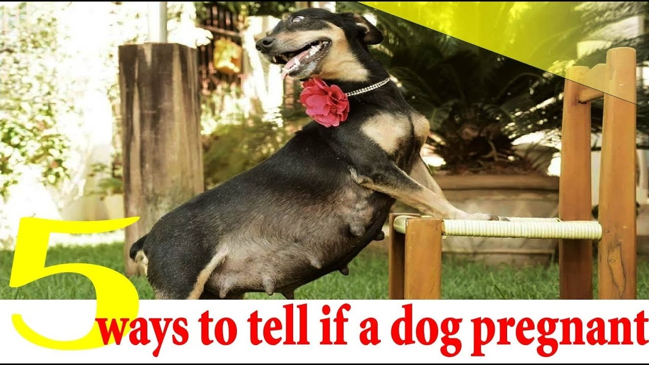 5 ways to tell if a dog is pregnant dog pregnancy