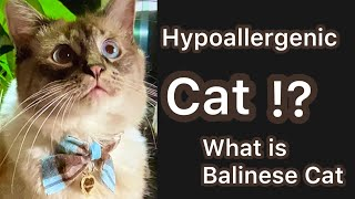 Hypoallergenic cat !? What is a Balinese Cat. & other breeds that might be hypoallergenic.