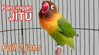 masteran lovebird ngetik ngekek panjang,pancingan labet 2 JAM