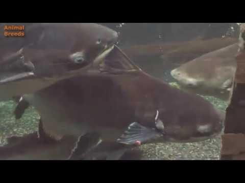 Big Pangasius Shark Catfish Aquarium Tank