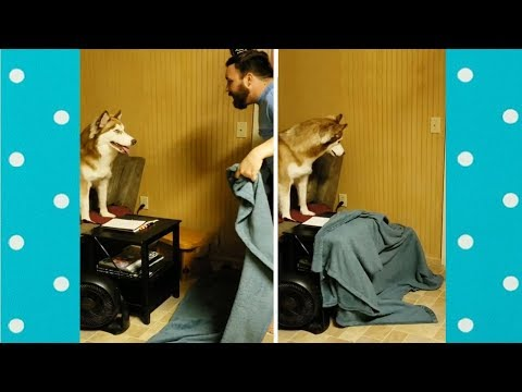 Funny Dogs Reaction To Owners Disappearing Behind Blanket | Funny Pets