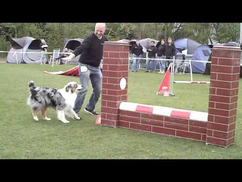 Agility australian shepherd Diesel Jumping