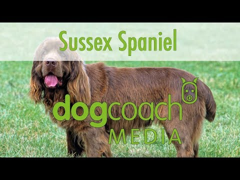 Hunderasse Lexikon: Sussex Spaniel