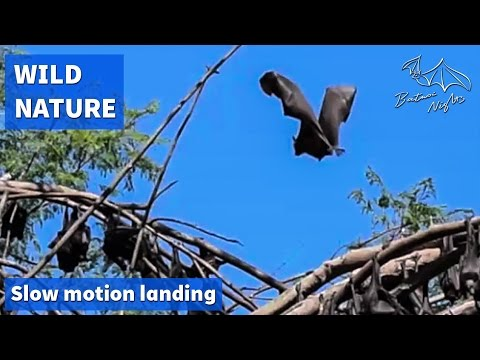 Little red flying foxes landing in slow motion
