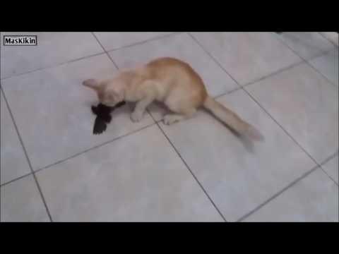 Kucing ini menangkap burung dan dibawa pulang ke rumah :)
