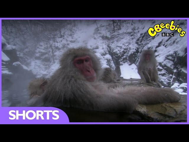 CBeebies | Andy's Baby Animals | Snow Monkeys at the hot springs
