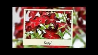 How To Grow Nicotiana From Seed