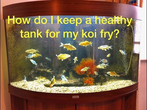 How Do I Maintain A Healthy Koi Fry Tank For Good Growth And Development?