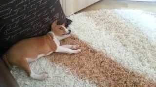 Купили щенка Басенджи (Basenji)
