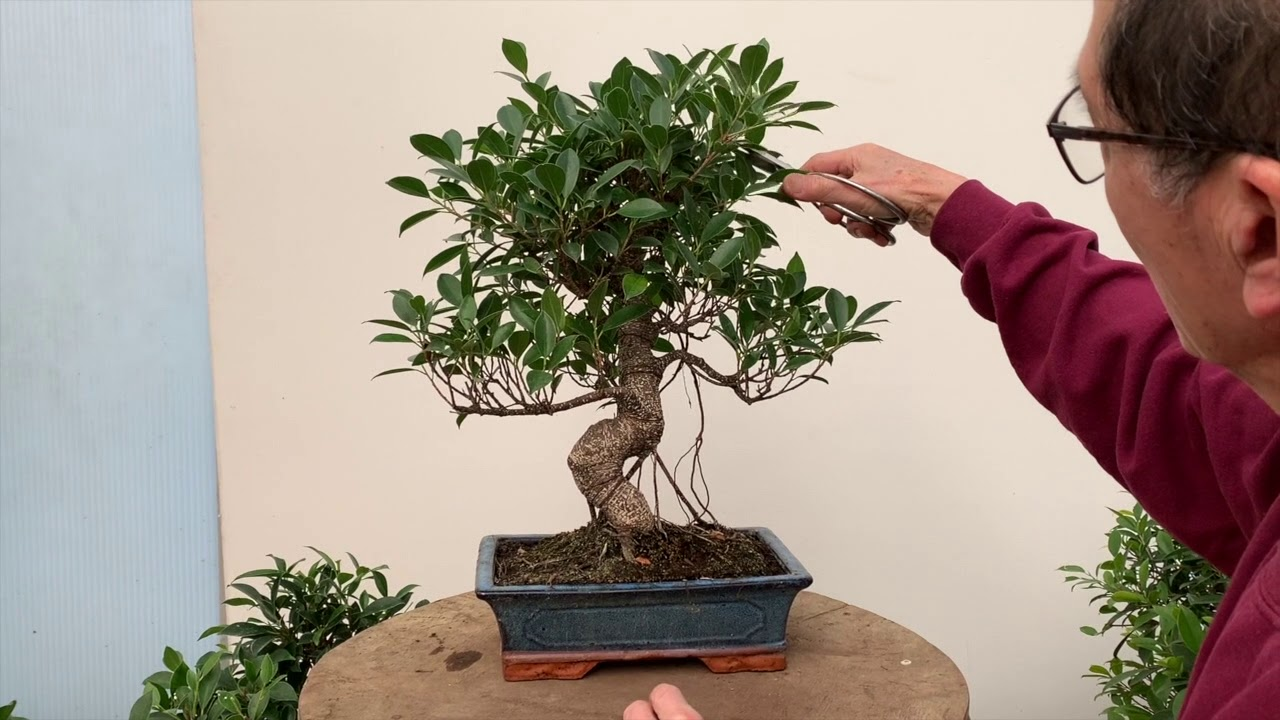 Indoor Bonsai All You Need To Know Youtube